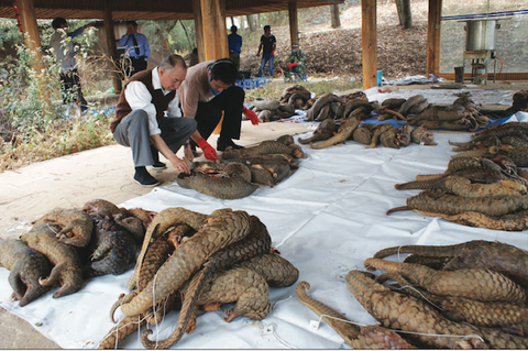 pangolin trafficking poaching murder