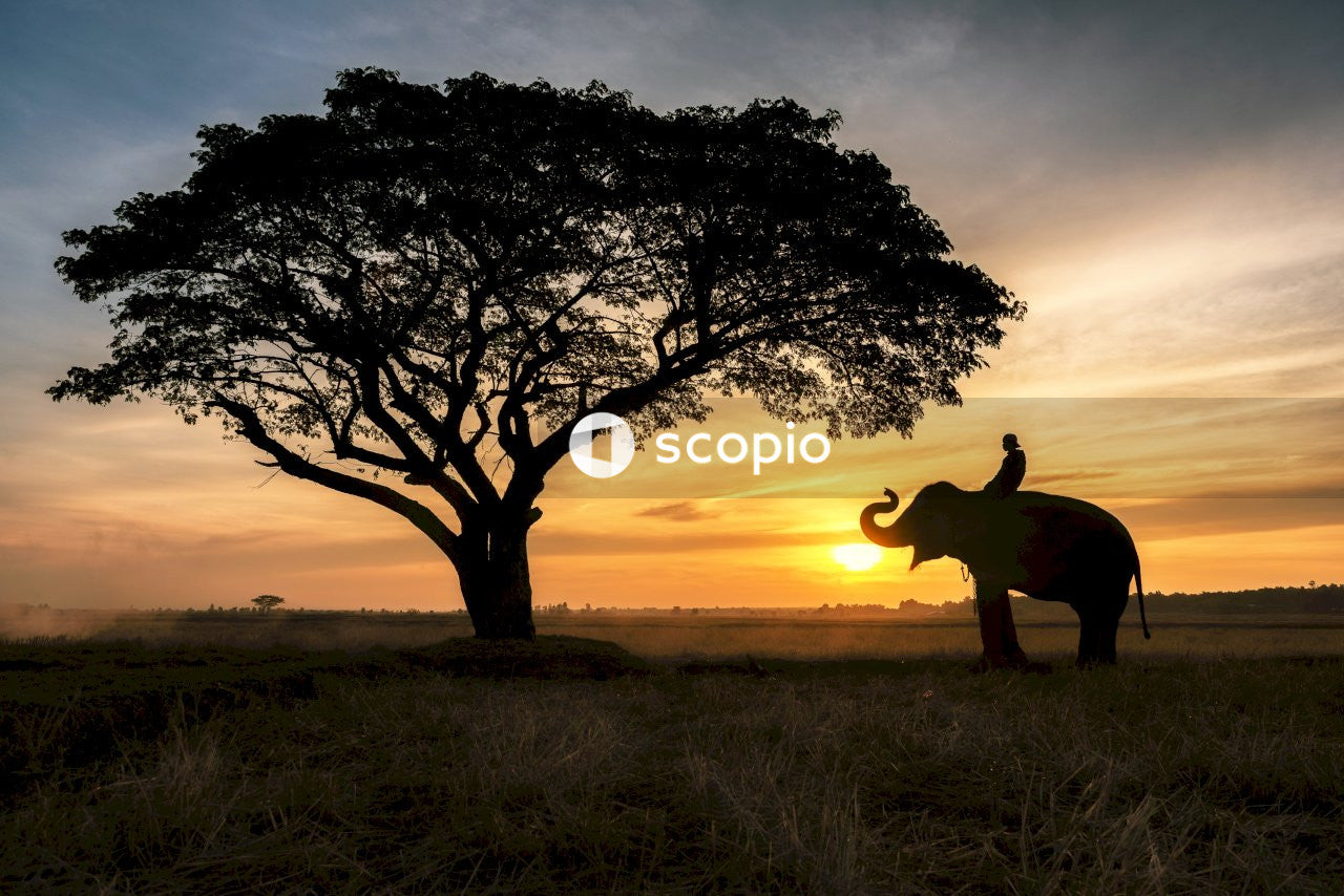 Man riding elephant front of tree during golden hour