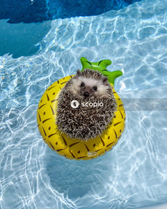 Hedgehog on pool floater