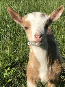 White and brown goat kid