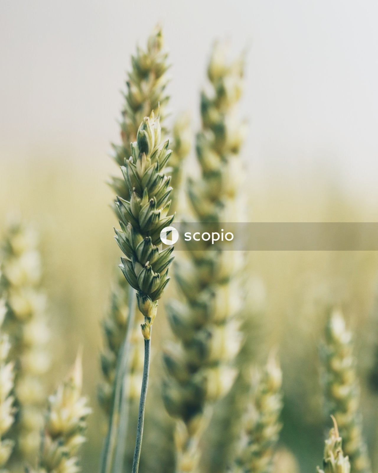 Green wheat in close up