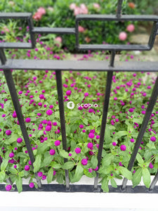 Pink and white flowers on black steel fence