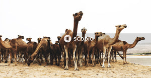 Herd of Dromedary camels on sand