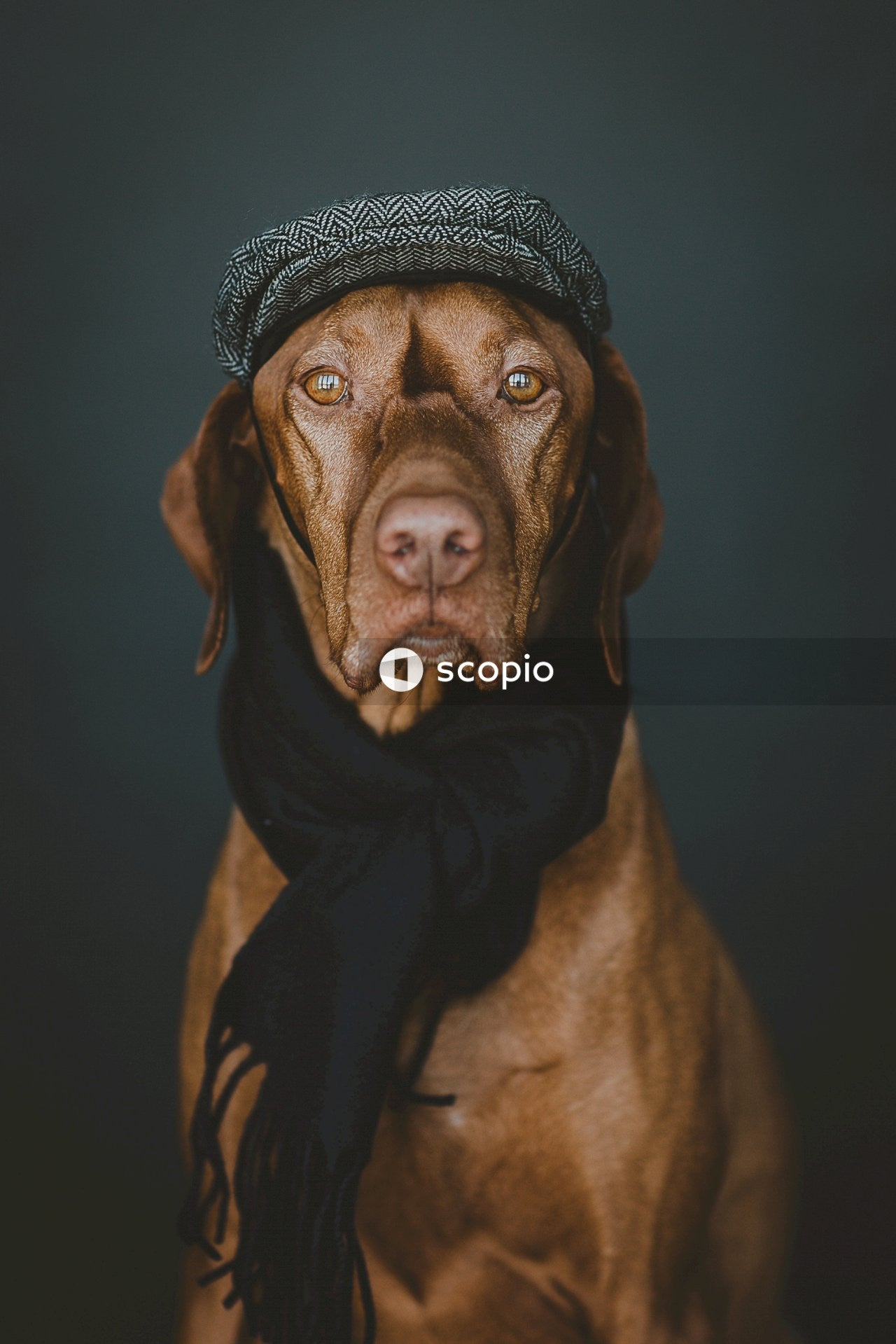 Brown short coated dog wearing black and white knit cap