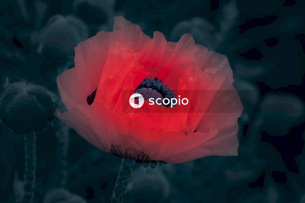 Selective color photography of common poppy flower