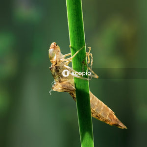 Brown grasshopper perched on green stem in close up photography