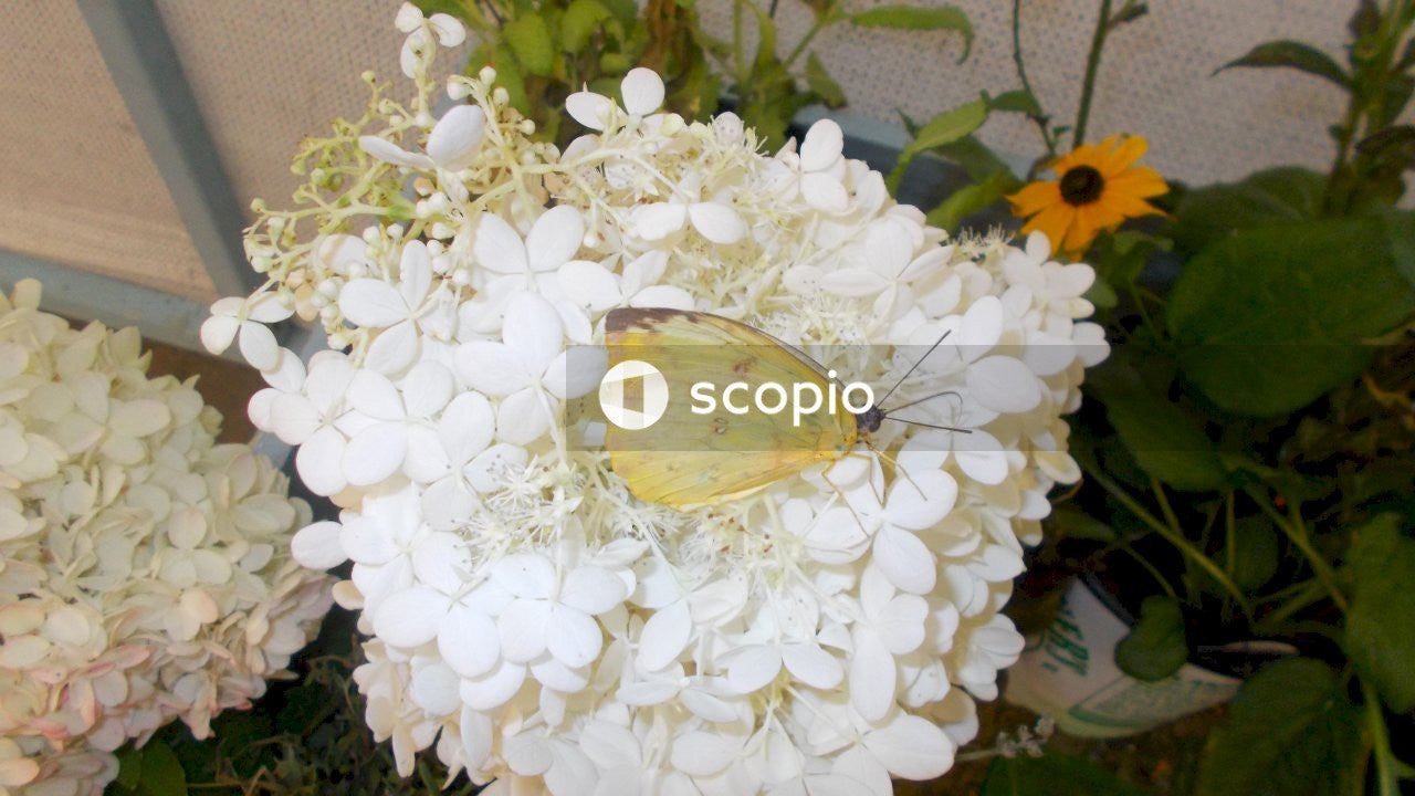 Yellow butterfly perched on white flower