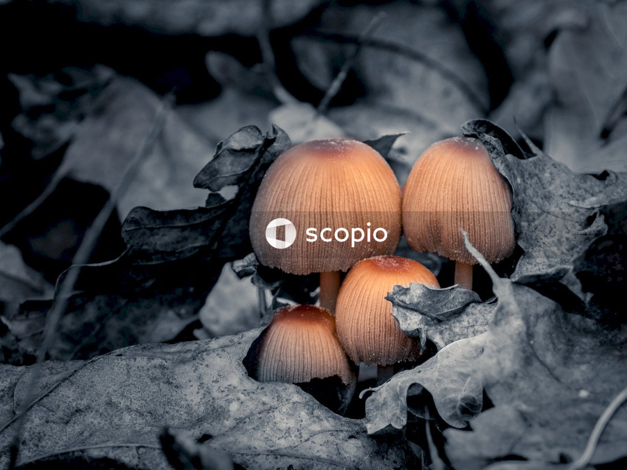Orange mushrooms on black dried leaves