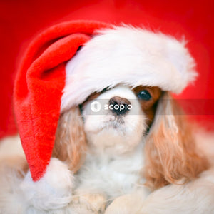 Long-coated white and brown dog with christmas hat