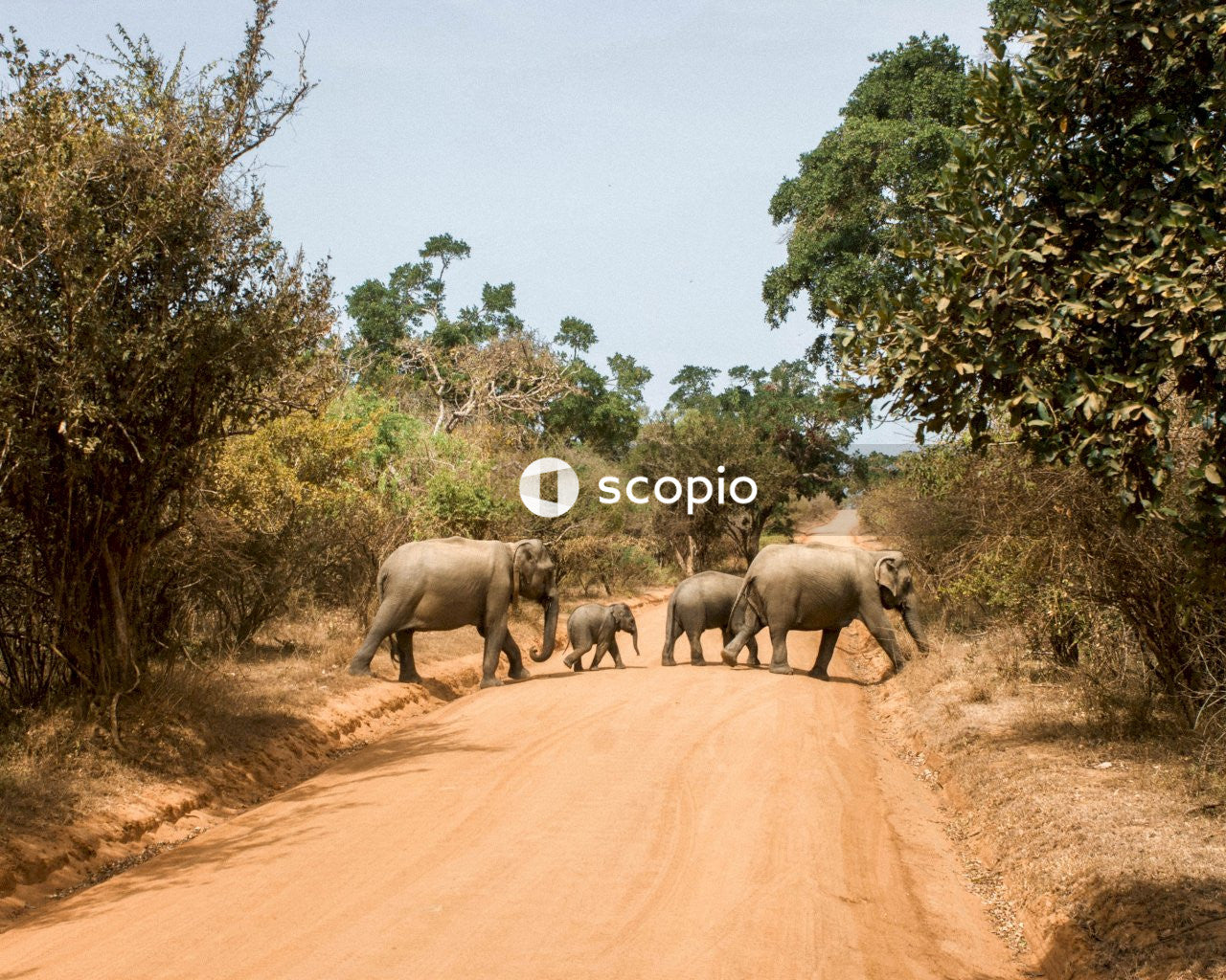 Elephants crossing road