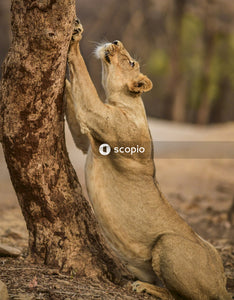 Adult lioness sharpening her paws on tree