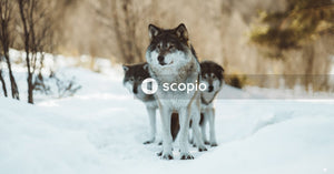White and black wolf on snow covered ground