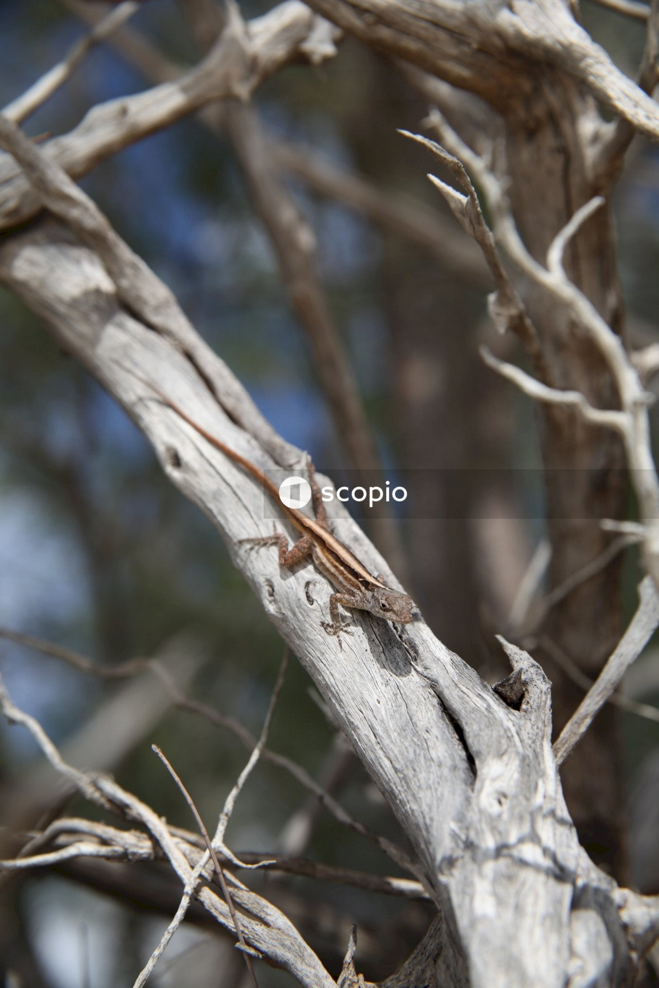 Brown and white lizard on brown tree branch