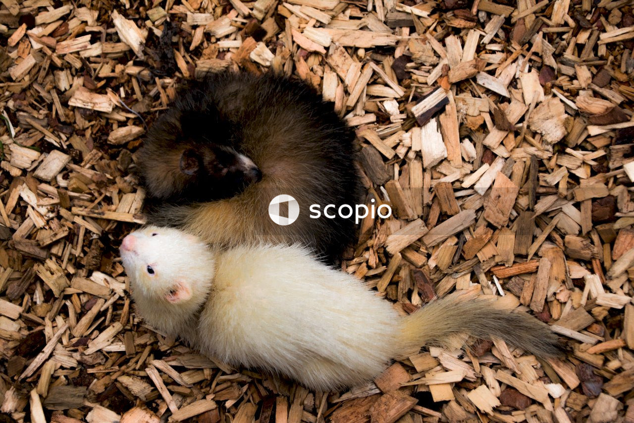 Black and white ferrets on wooden chips