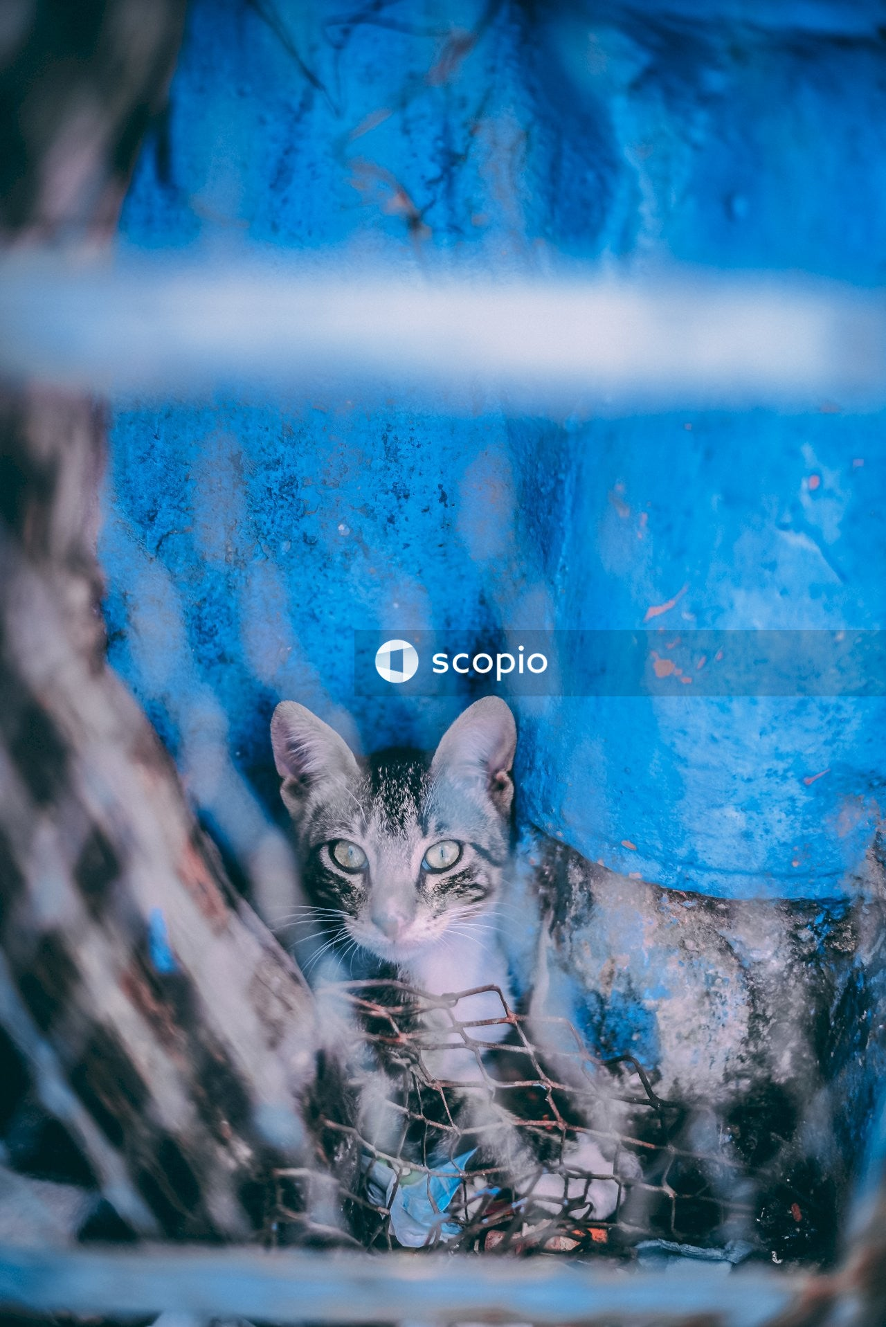 Silver tabby cat on blue and white wall