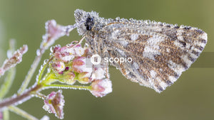 Brown moth butterfly