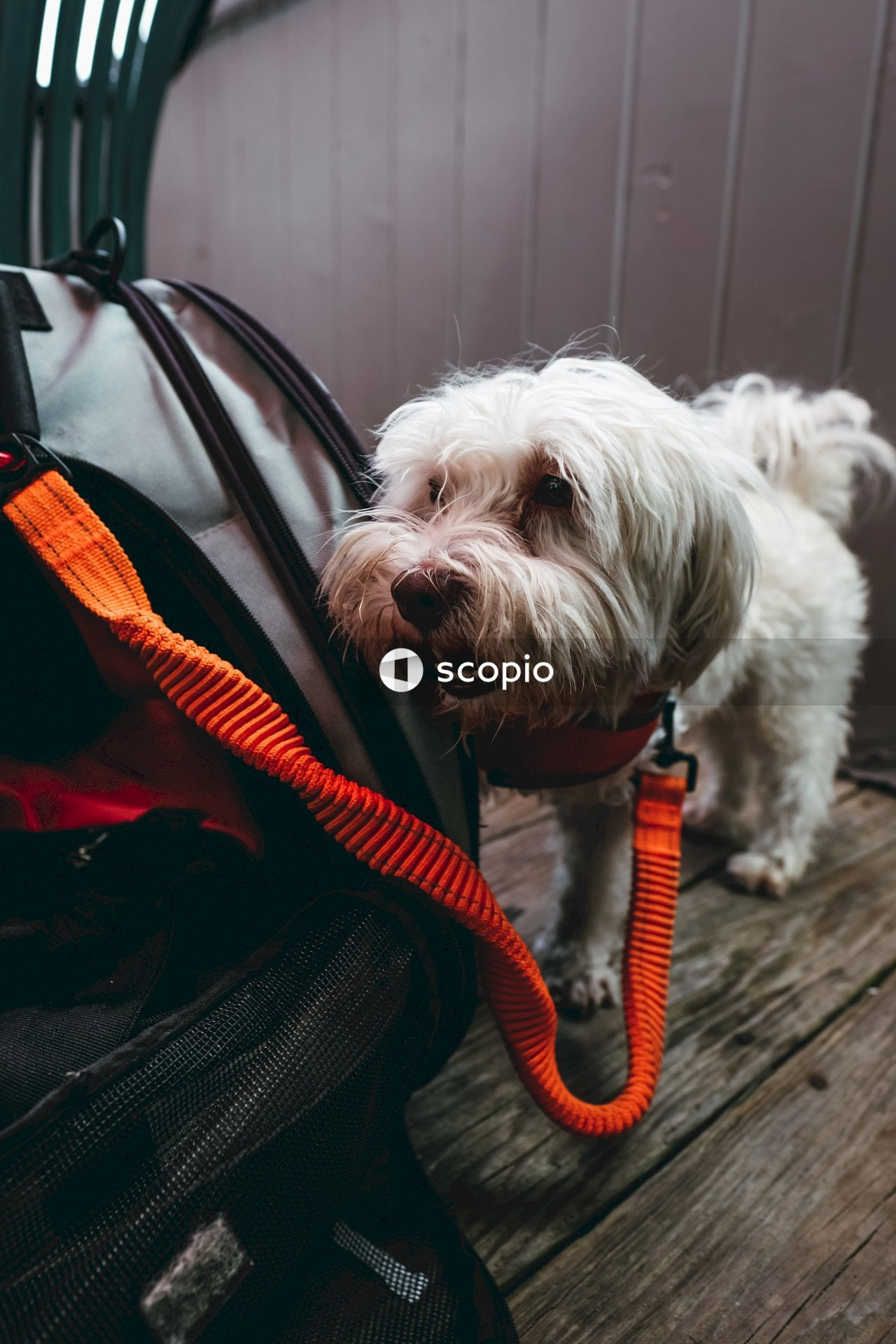 Maltese dog with orange leash attached to pet carrier