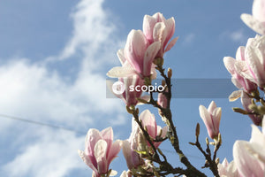 Close view of magnolia flowers