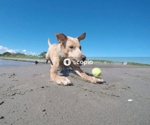 Dog playing tennis ball on shore