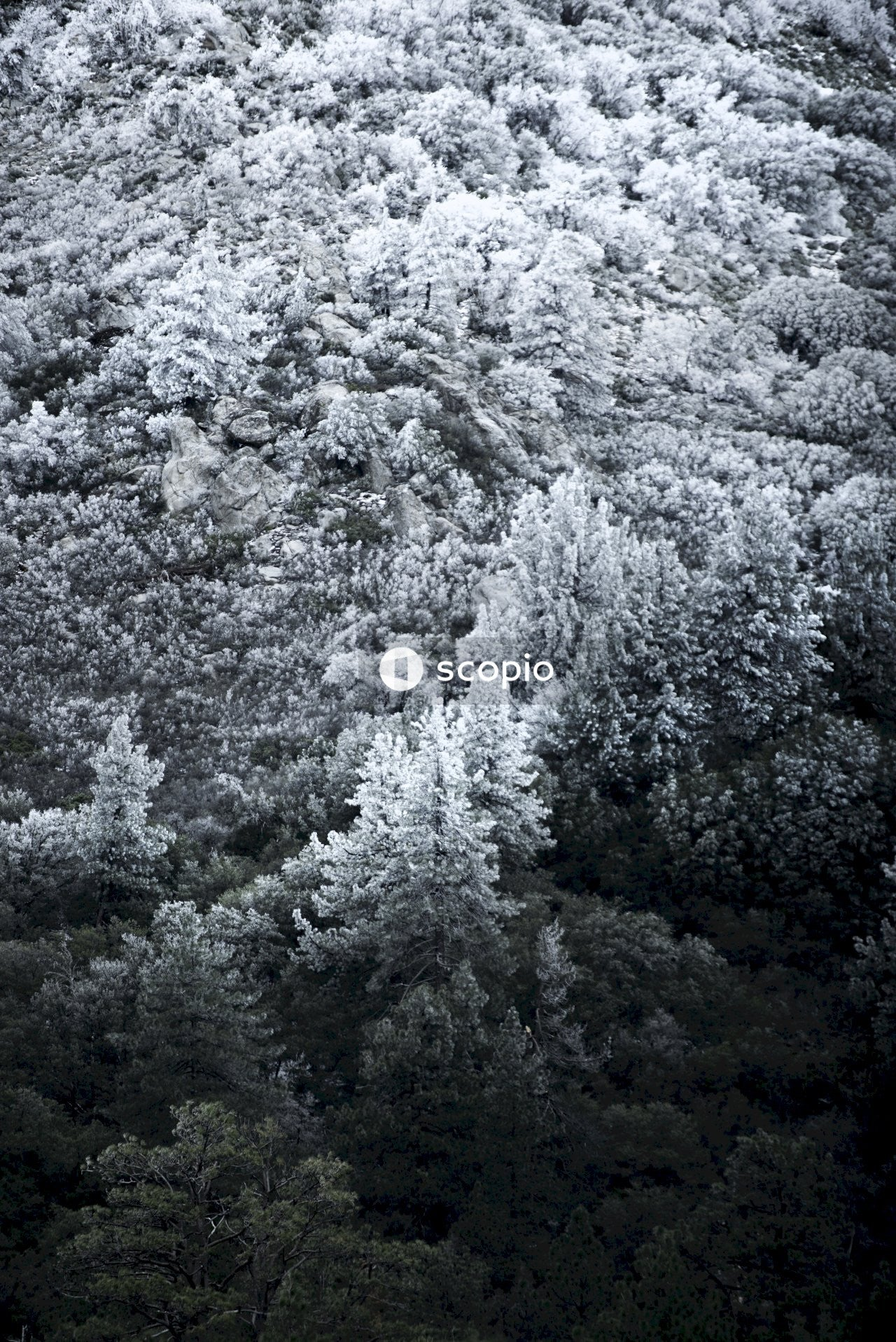 A black and white of pine trees and shrubbery