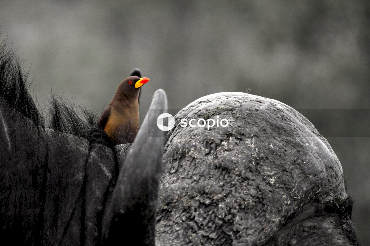 Black and orange bird on gray rock
