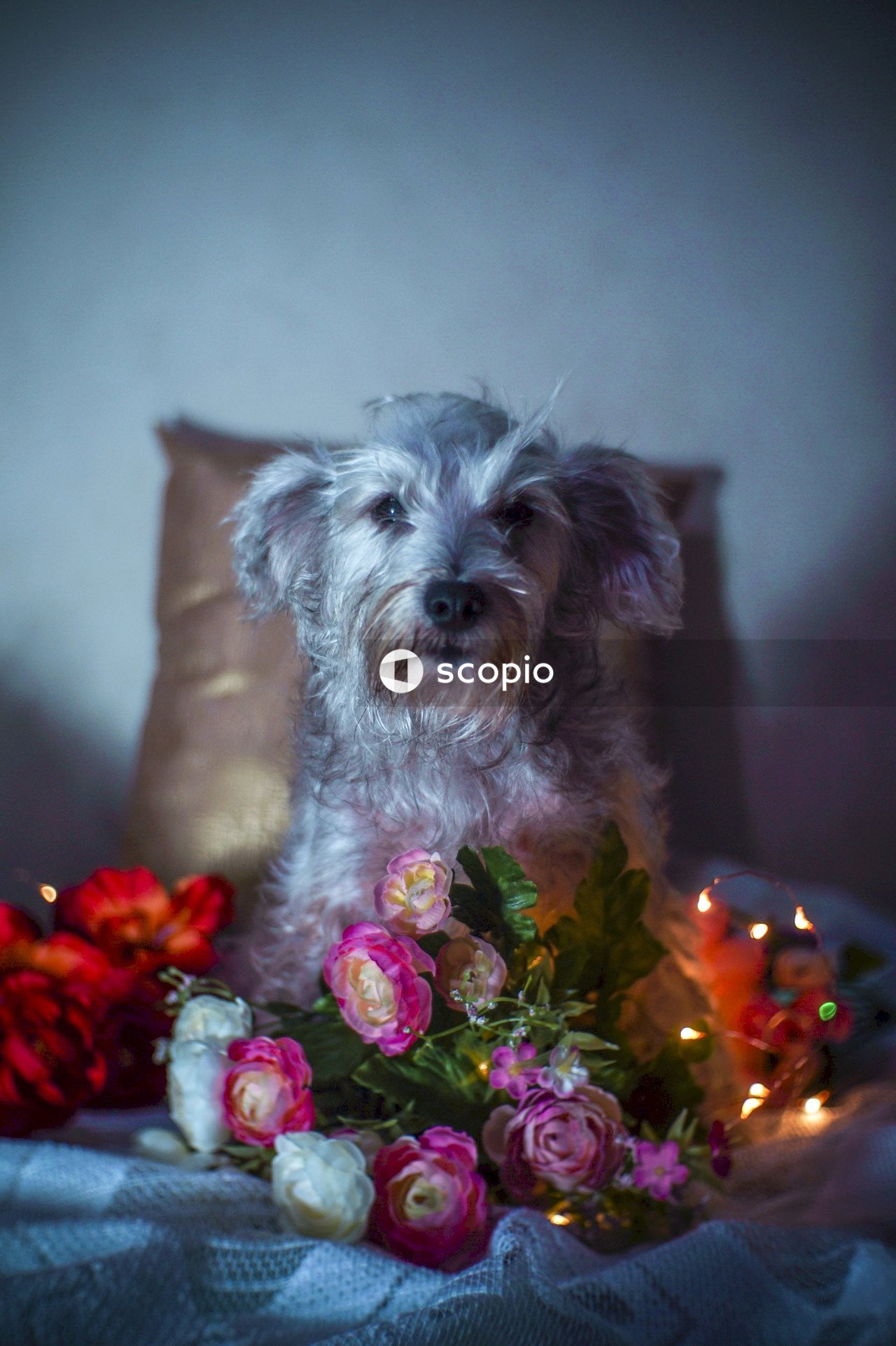 White and gray long coated small dog on red and white floral textile