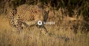 Black and brown cheetah on brown field
