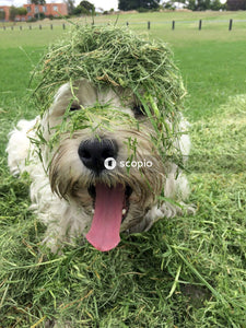 White poodle covered with grasses