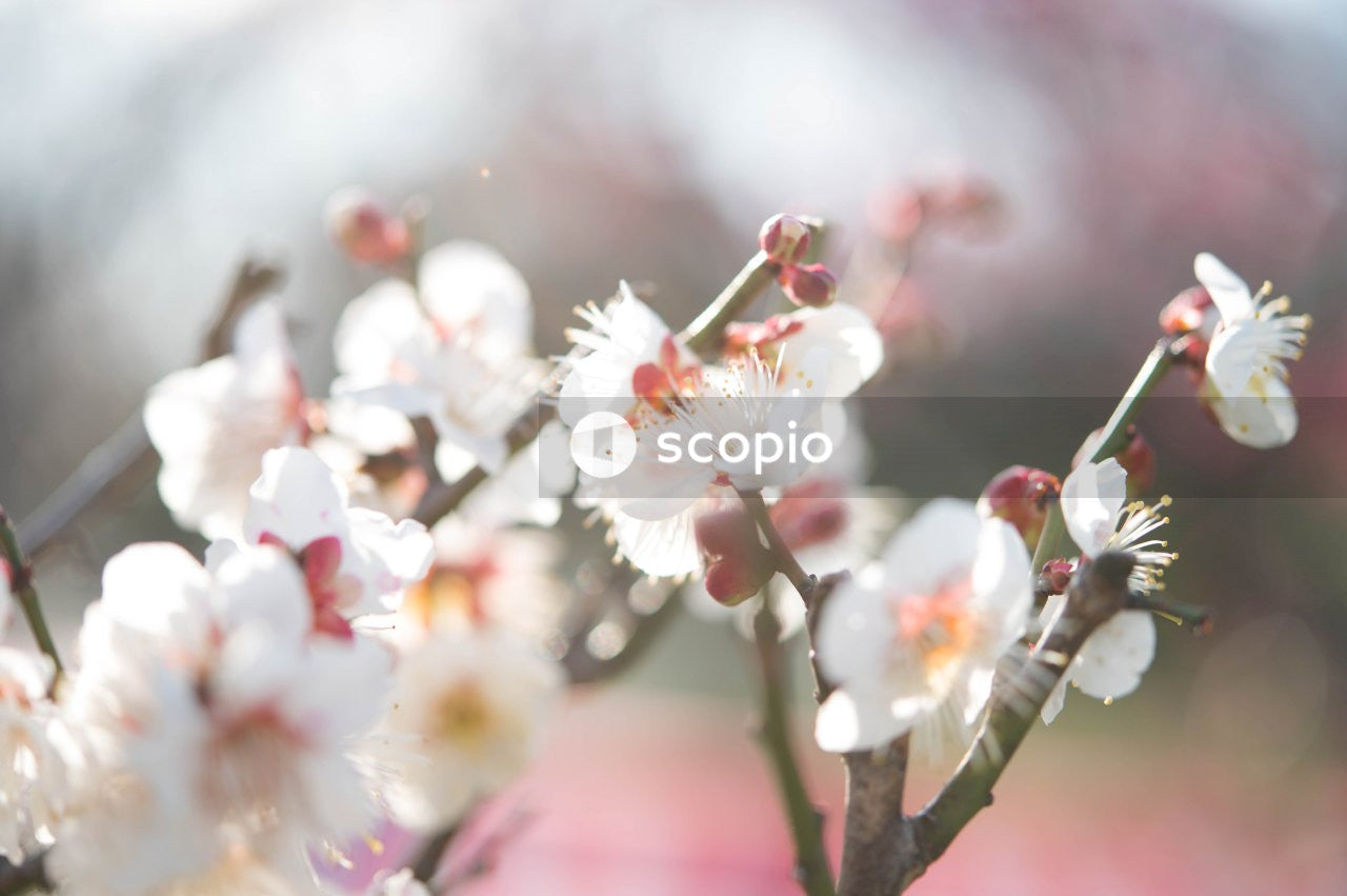 White and pink cherry blossom in close up
