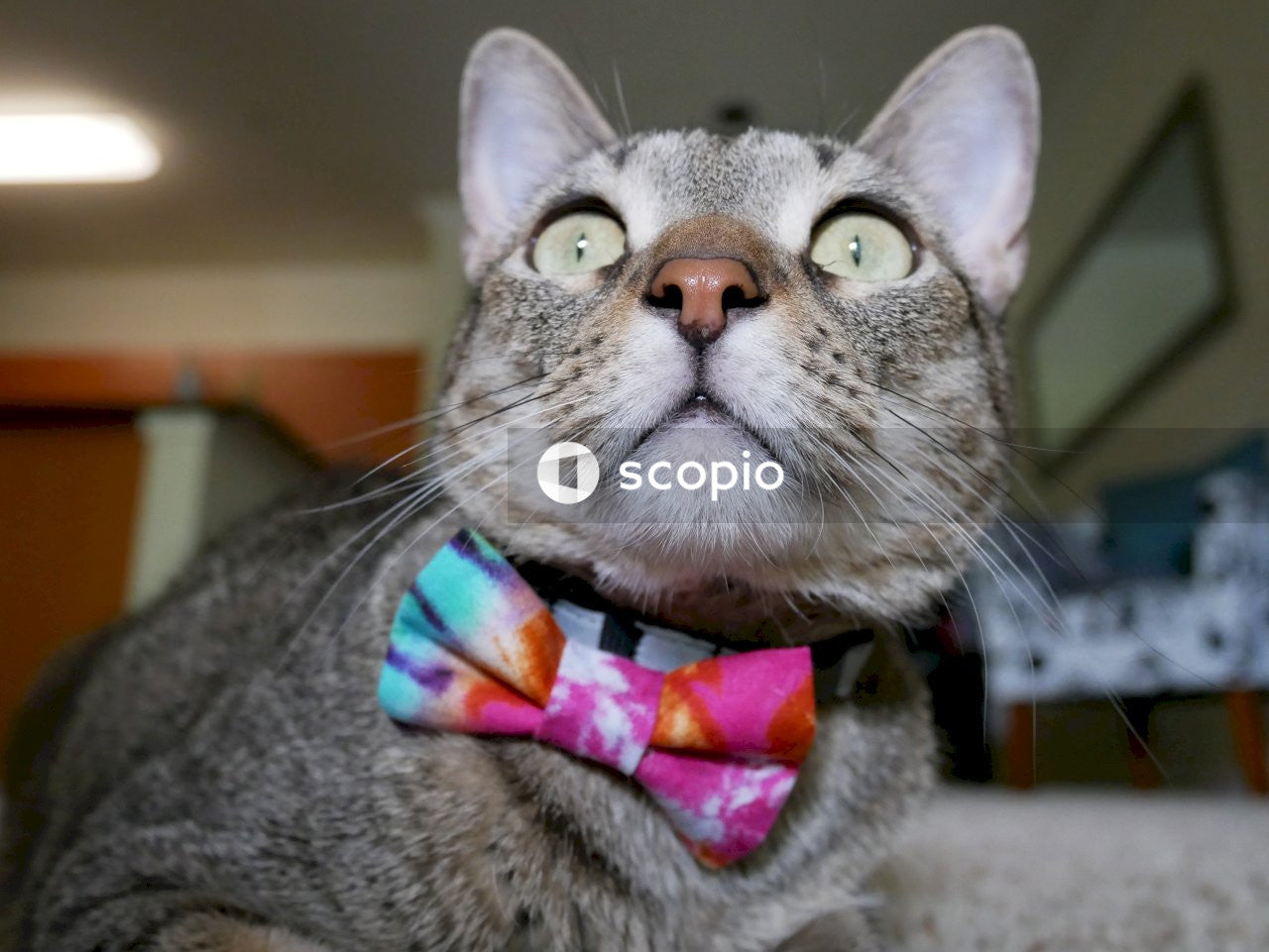 Cat wear tie