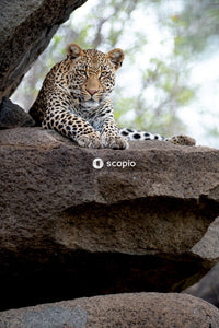 Leopard lying on brown rock