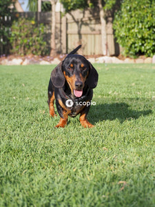 Black and tan short coat dog on green grass field
