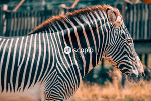 Black and white zebra standing on brown grass field