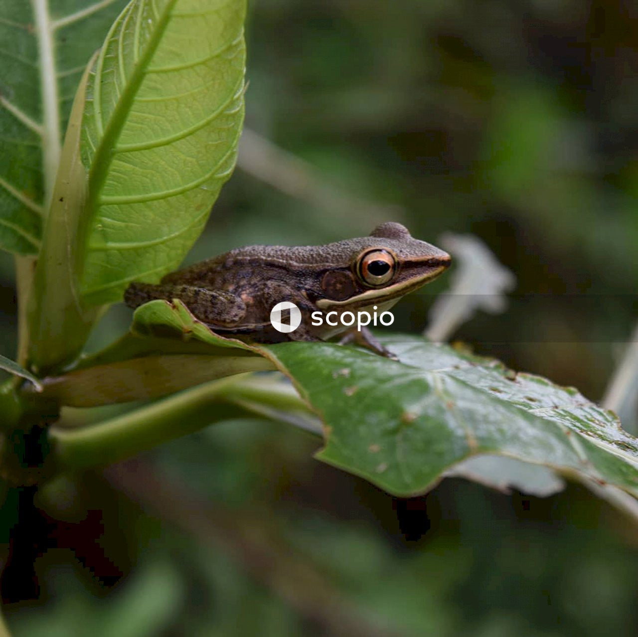 Brown frog perching on green leaf