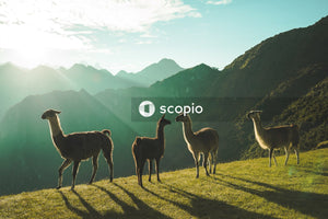 Llamas in mountain landscape at sunset