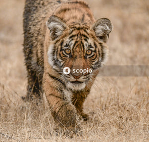 Macro photography of adult tiger in brown field