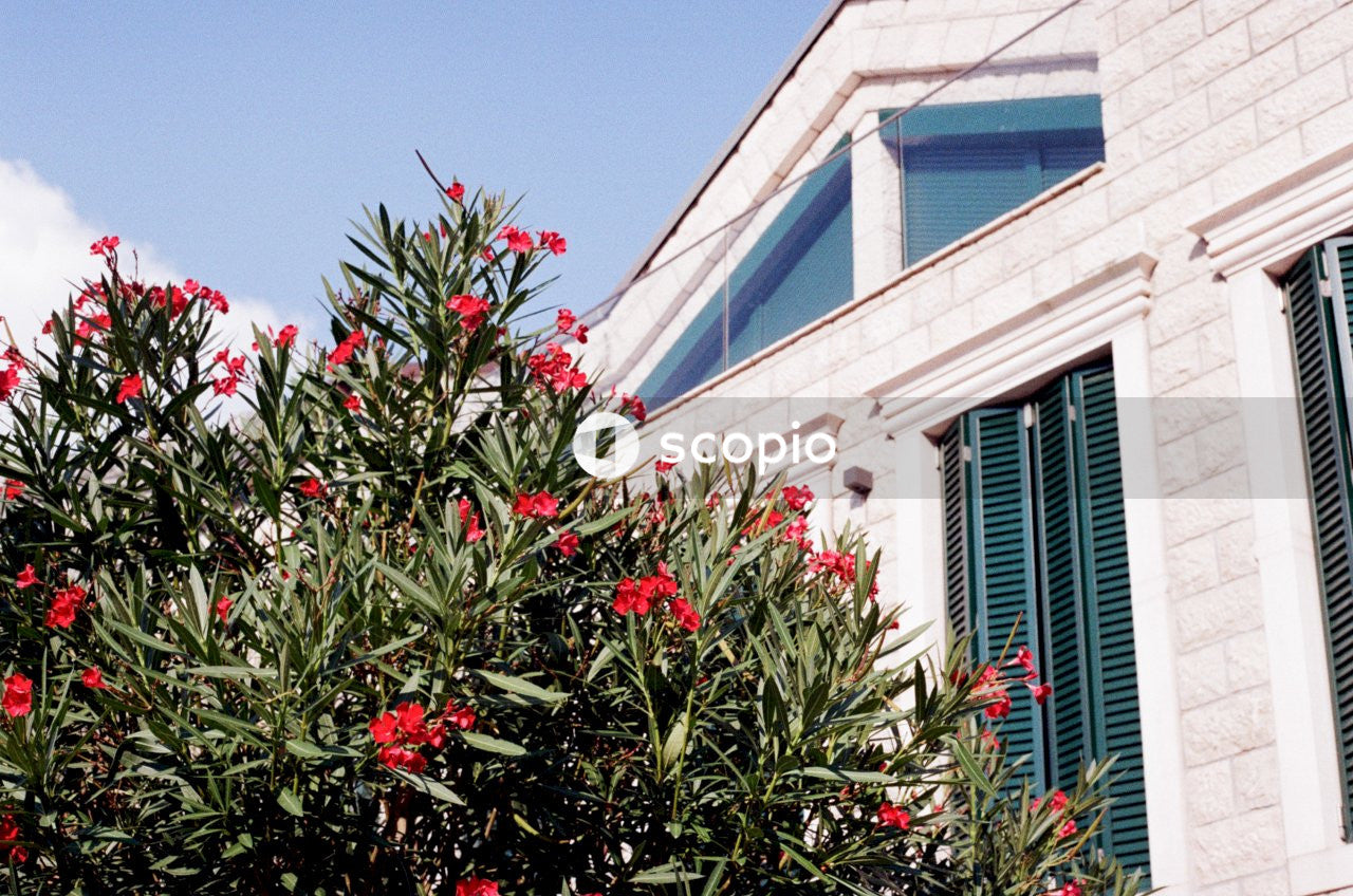 Red petaled flowers beside white concrete building