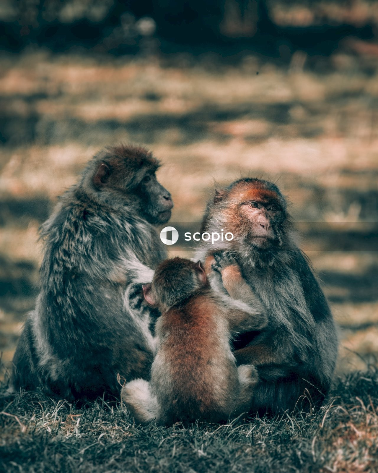 Three macaque sitting on grass