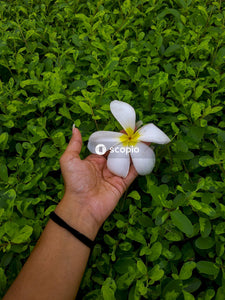 Person holding white 5 petaled flower