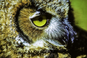 Wisdom In The Eyes Of A Great Horned Owl