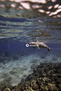 White sea lion in water