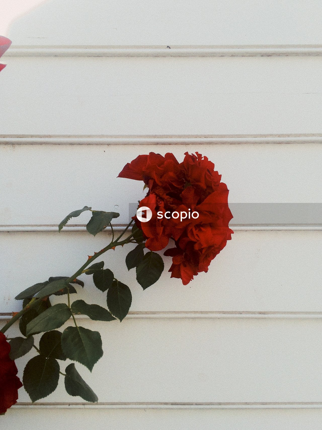 Red rose in front of white wall