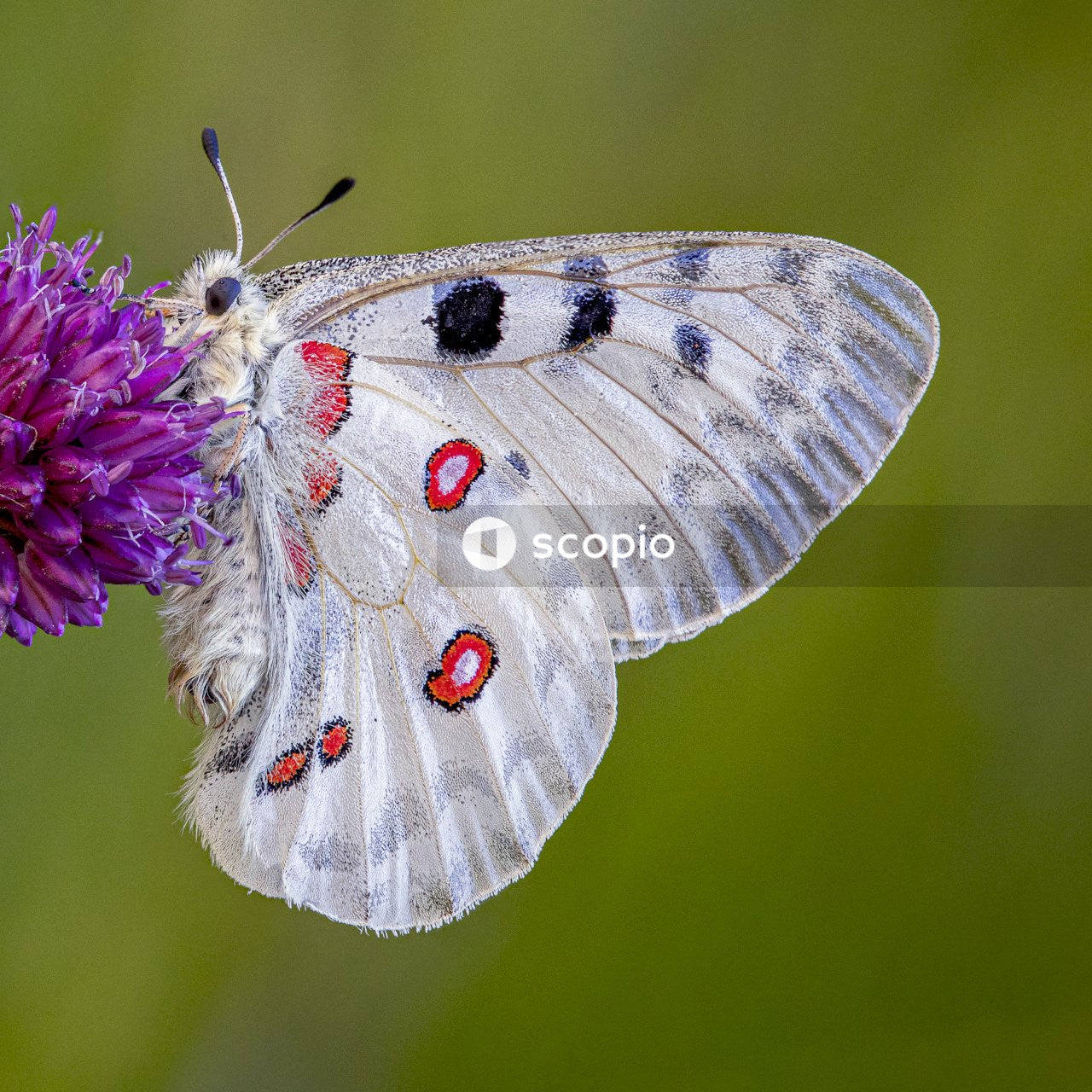 White and red butterfly on purple thistle flower