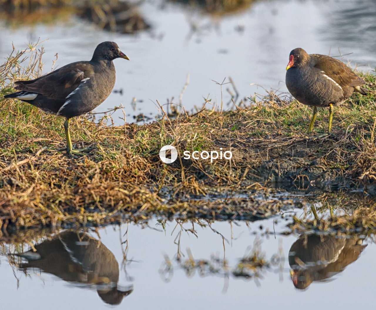 Black duck on brown grass