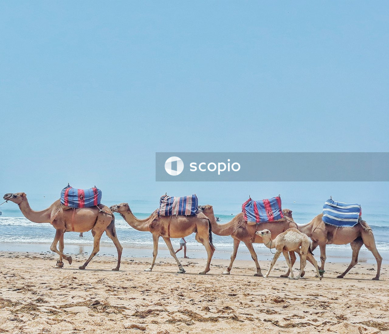 Five brown camels near seashore