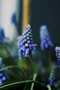 Purple flower buds in tilt shift lens