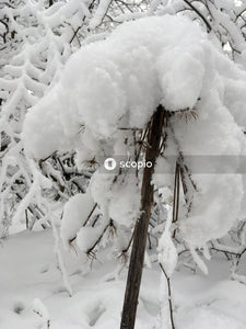 Brown tree branch covered with snow