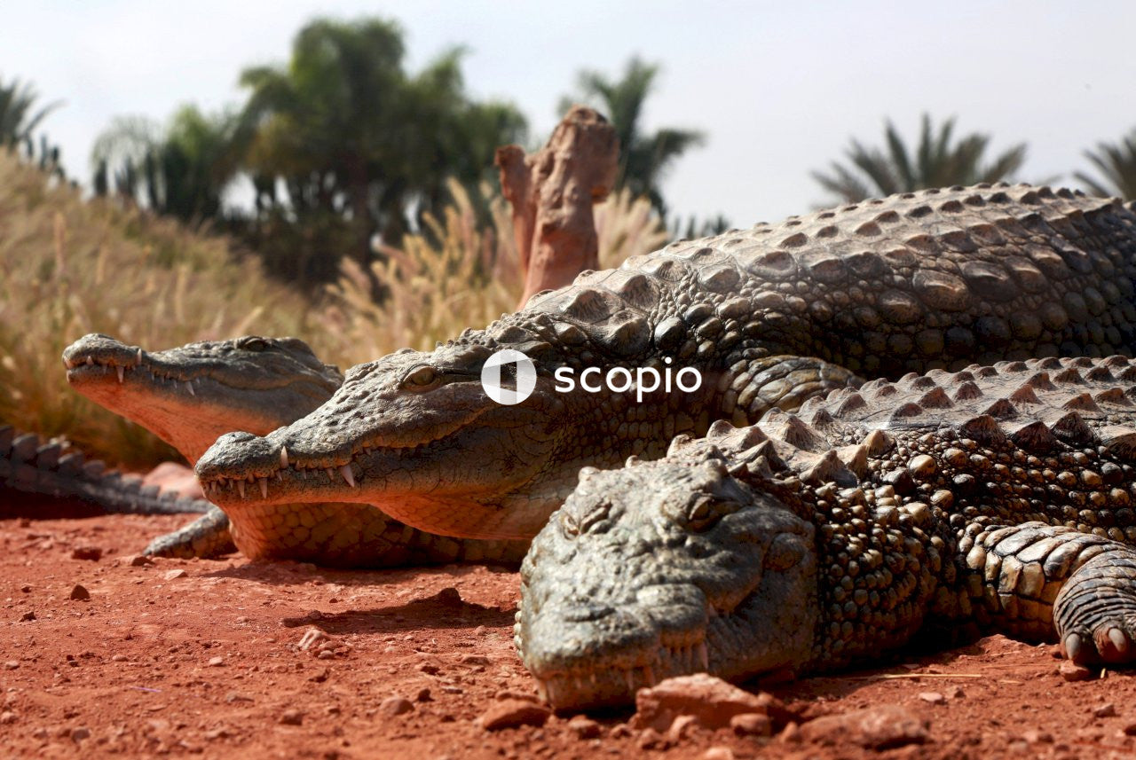 Brown crocodile lying on brown sand