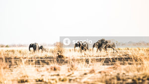 Herd of elephant on brown grass field