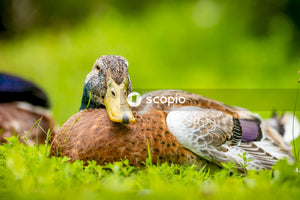 Brown and white duck on green grass